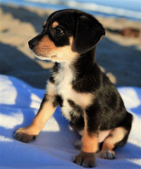 beagle husky mix puppies beagle husky mix emmitt the husky mix puppies daily puppy breeds picture