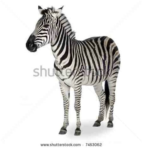 would love this zebra as a tattoo zebra tattoos