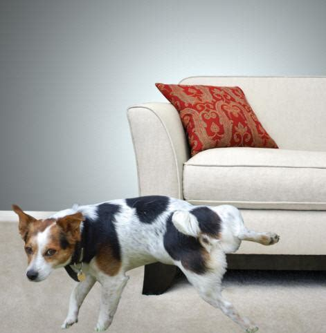 pee on couch in home private dog training consultations anythings