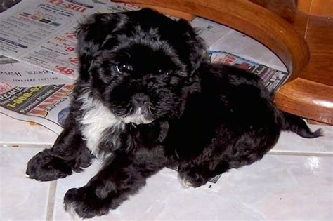 shih tzu mixes list list of shih tzu mix breed dogs