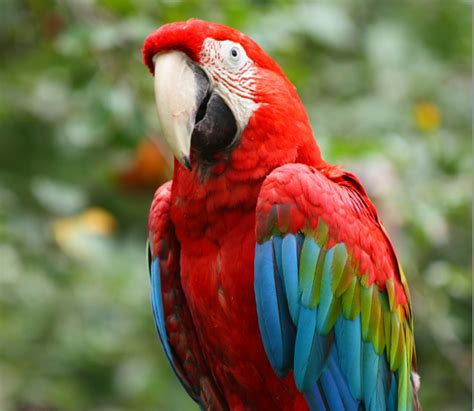 imagenes de guacamayas verdes guacamaya ala verde buscar con google aves hermosas