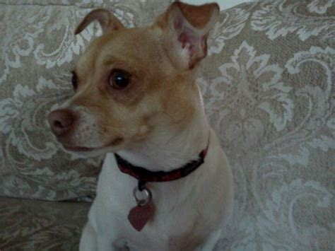 chihuahua puppies craigslist pin by amaris on network for rescued lost pets in washington ple