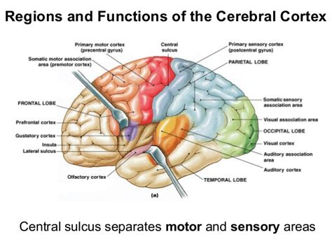 sensory and motor areas of the brain lecture12 2 13
