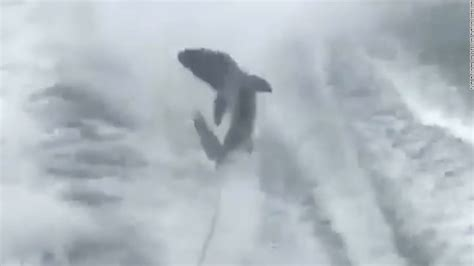 video of shark dragged behind boat video of shark dragged behind boat sparks outrage cnn