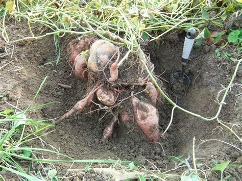 File Sweet Potatoes Exposed Dscf7301 Jpg Wikimedia Commons | file sweet potatoes exposed dscf7301 jpg wikimedia commons
