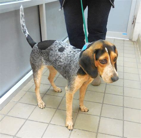 sally bluetick pattern beagle pup adopted