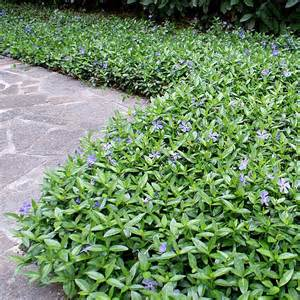 this species of periwinkle is an evergreen low growing mat forming plant which is one of the