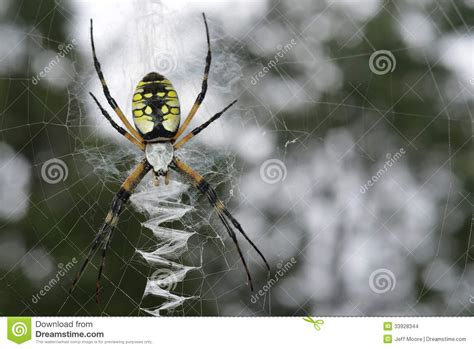 spiders with zig zag pattern on back black yellow argiope argiope aurantia female short