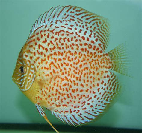 Pakan Ikan Louhan Supaya Merah ikan discus tedi rustendi
