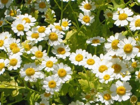 Images Of Feverfew Plant