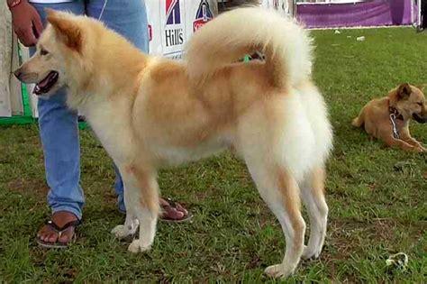Anjing Kintamani Bali anjing kintamani ras paling mudah dipelihara balipost