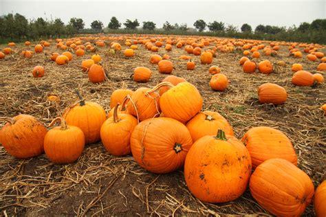 pumpkin patches pumpkin patch adventure at the applebarn pumpkin farm