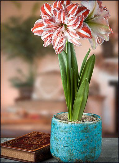 Amarylis Snow Black 59 best images about amaryllis gifts pre planted w free