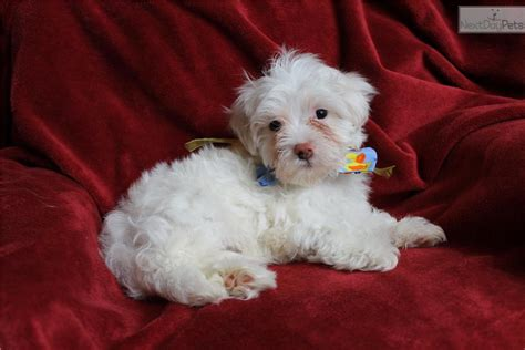 havanese puppies for sale near me havanese puppy for sale near atlanta 65ce0328 f651