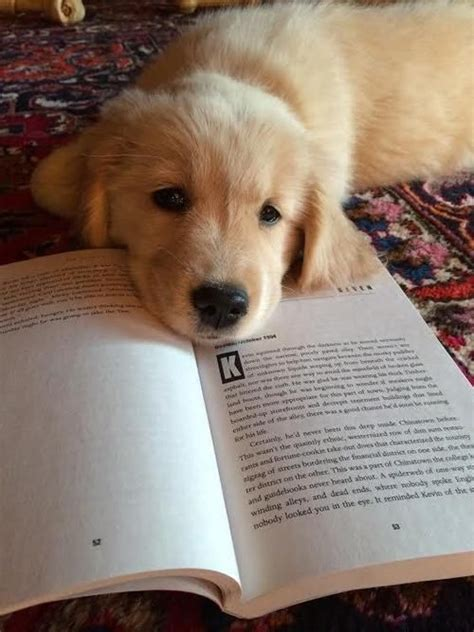 golden retriever books 640 best images about animals on white terrier