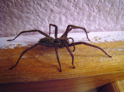 giant house spider seattle file house spider side view 01 jpg wikimedia commons