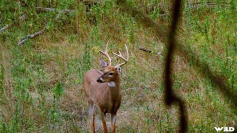 Deer Vs bobcat vs deer