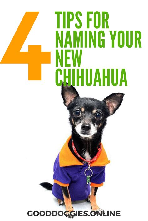 chihuahua names 4 tips to come up with the best chihuahua names of all time