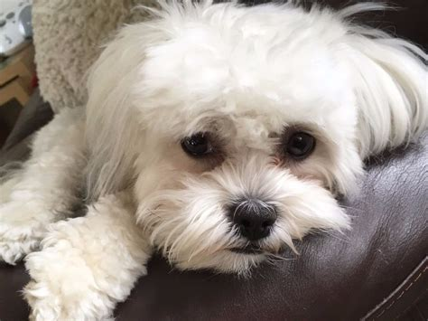 bichon shih tzu teddy gorgeous shichon puppies shih tzu x bichon frise teddy dogs all pups now