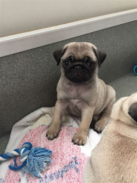 pugs for sale derby ready now kc reg fawn pug puppies for sale derby derbyshire pets4homes