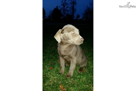 lab puppies for sale in ohio labrador retriever for sale near lima findlay ohio breeds picture