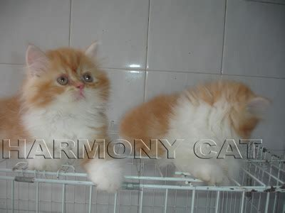 Jual Anakan Arwana Di Surabaya hamster dan kucing murah surabaya di jual kitten