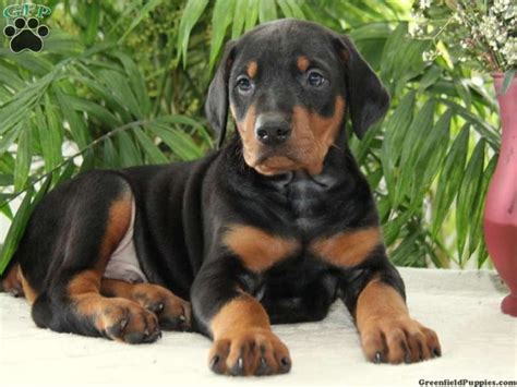 doberman puppy for sale free doberman puppies for sale wallpaper picswallpapercom breeds picture