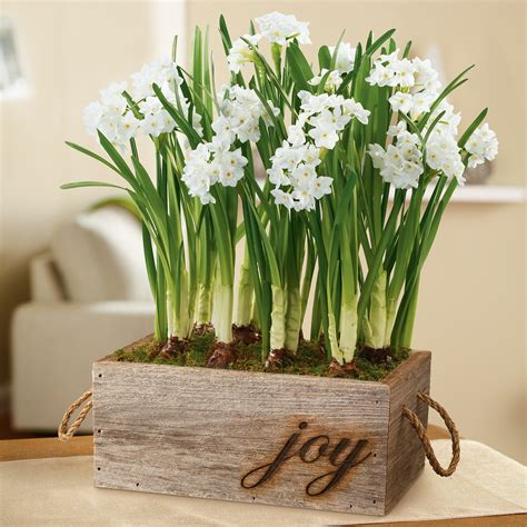 holiday paperwhites in reclaimed wood box floral gifts