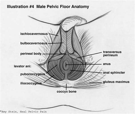 Tight Pelvic Floor Muscles by 1000 Images About Anatomy Academy On Anatomy