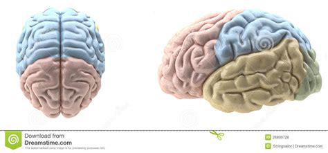 imagenes libres cerebro cerebro asociado color fotos de archivo libres de regal 237 as