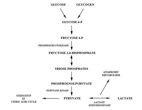 glycolysis diagram new glycolysis quiz cscs study questions