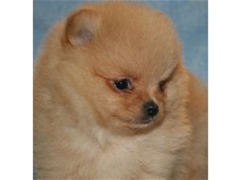 free puppies knoxville tn adorable pomeranian puppies for sale adoption from knoxville tennessee adpost