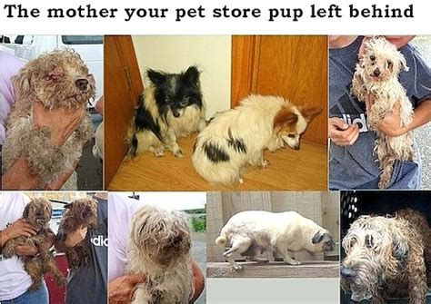 selling puppies laws philadelphia bans pet shops from selling puppy mill dogs