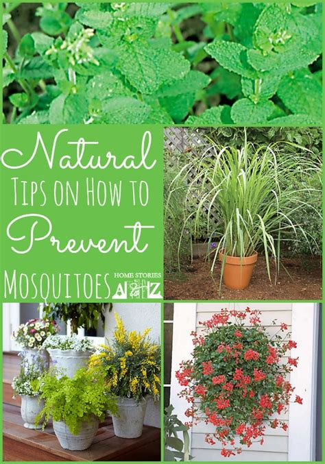 mosquito repellent plants 50 backyard hacks home stories a to z