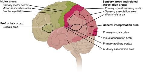 sensory and motor areas of the brain targeted individuals stalking and the b e a s t part