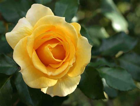 Types Of Japanese Garden - gold bunny rose hello hello plants amp garden supplies