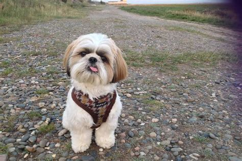 cooper shih tzu brainy shih tzu solve maths problems faster than a toddler mirror
