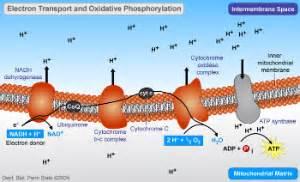 Proton Gradient Definition Oxidative Phosphorylation Biol 230 Master Confluence