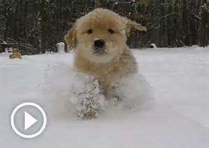 golden retriever puppies snow golden retriever puppies puppys and on