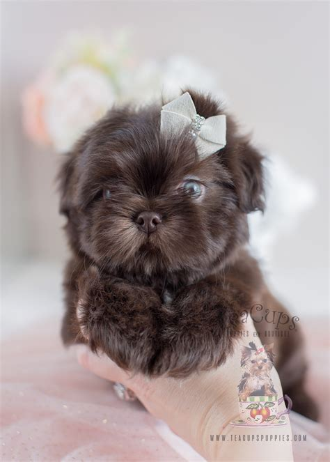 shih tzu puppies for sale in idaho adorable shih tzu puppies for sale teacups puppies boutique