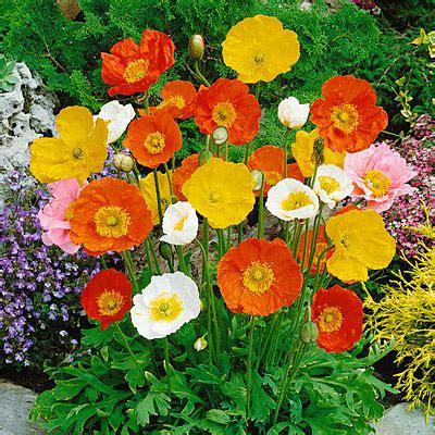 Bibit Eksotic Bunga Vinca Merah jual bibit bunga berkualitas jual bibit bunga murah