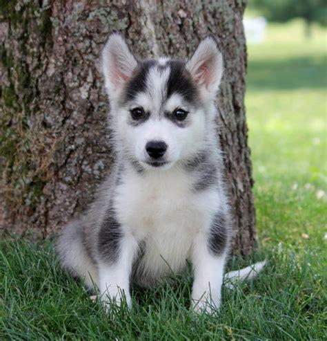 huskimo puppies for sale adorable huskimo puppies craigspets