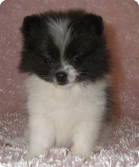white miniature pomeranian black and white miniature pomeranian www pixshark images galleries with a bite