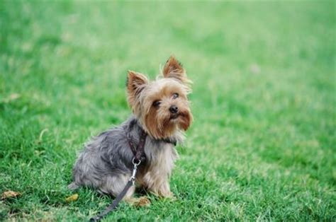 are yorkies easy to potty terriers yorkie poodle puppy potty tips