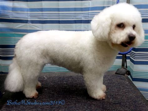 how to do a bob marley poodle cut on a dog marley bichon after a breed style with long ears http
