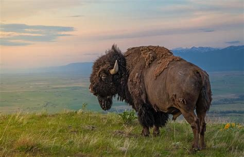 Elemental Architecture king of the hill an american bison on the national bison