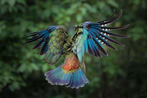 big colorful bird colorful bird flying www pixshark images galleries