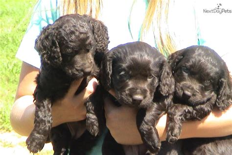 boykin spaniel puppies for sale in sc boykin spaniel puppy for sale near greenville upstate south carolina d4666b9b af71