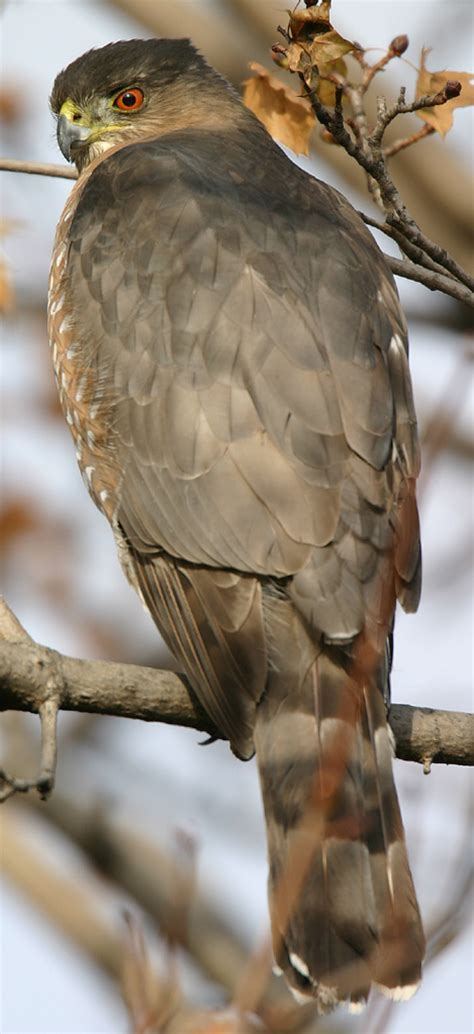 cooper s hawk accipiter cooperii michigan s sleeping