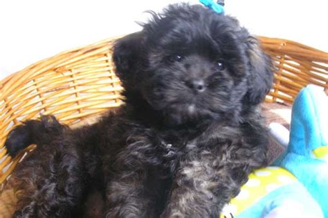 small black puppy small black fluffy breeds
